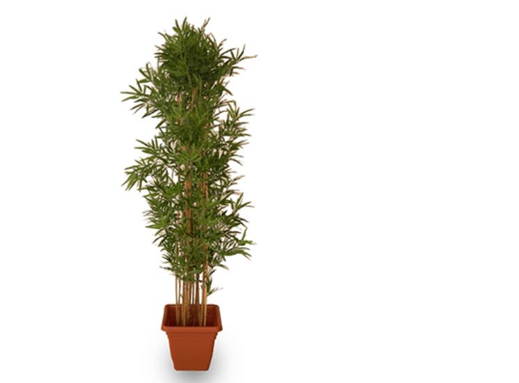 Deko bambusbaum pflanzen vermietung for Deko pflanzen
